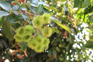 Rambutan growing on a tree